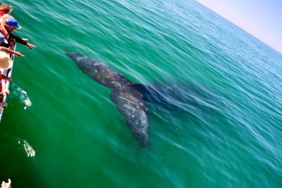 Southern Right Whale #3