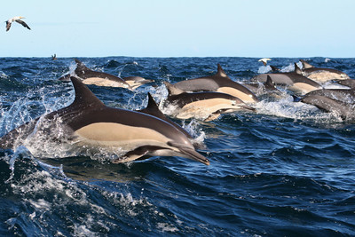 Common Dolphin #1