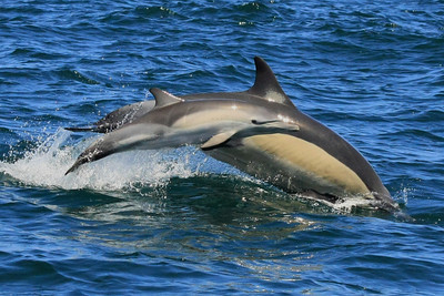 Common Dolphin #4