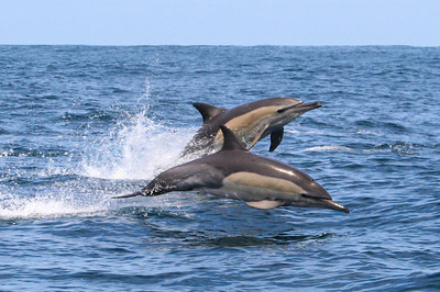 Common Dolphin #6