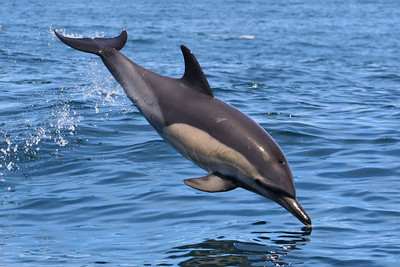 Common Dolphin #3