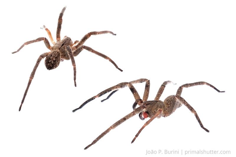 Brazilian wandering spider, banana spider (Phoneutria nigriventer) Piedade, SP - Brasil April 2013 Tropical rainforest, Atlantic forest