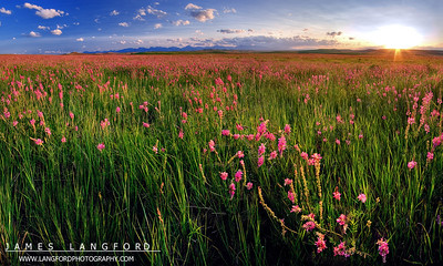 """""""Rocky Mountain Fields of Glory""""  Front Range of the Rocky Mountains, MT  These flowers are called SanFoil, and they only bloom for a short time each year at the end of June.  The farmers in Central MT use them for hay, but they also bloom with these incredible purple flowers. Want to buy a print of this image?  Click Here!"""