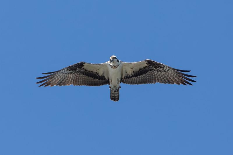 aka the Sea Hawk