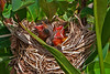 baby red wing blackbirds