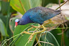 The American Purple Gallinule