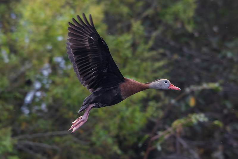 Black-bellied whistling duck<br /> Dendrocygna autumnalis