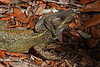 The basilisk lizard aka the Jesus lizard, because it walks on water on two legs.