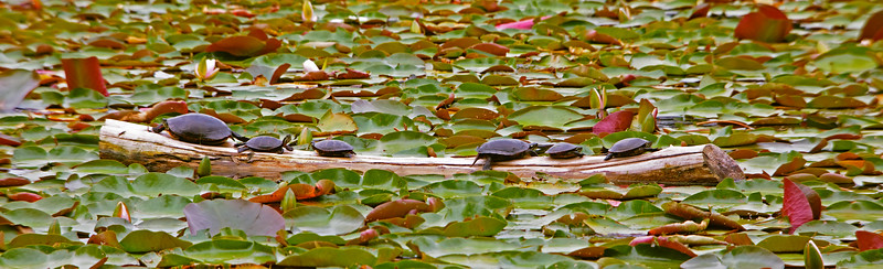 Turtles on a log in a bog