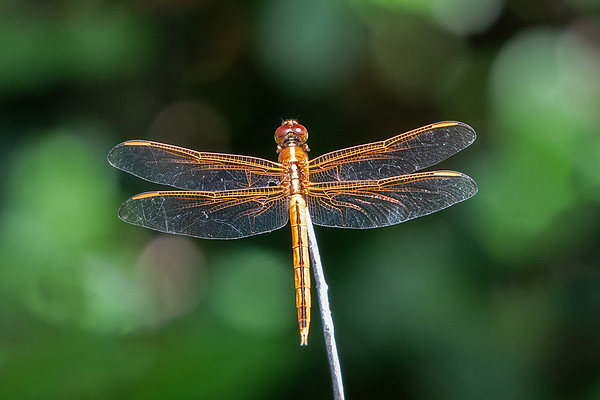 Female red veined darter  (Sympetrum fonscolombii)