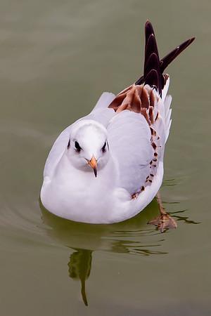 Stylish Parisian Gull