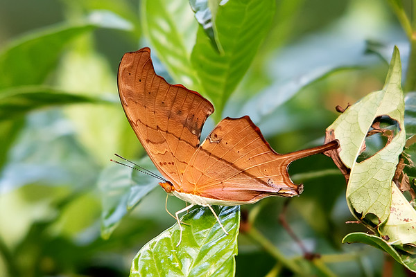 Orange Oak  Leaf (Kallima inachus)