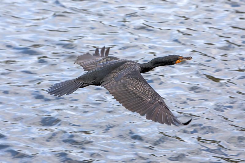 Double-crested cormorant<br />  Phalacrocorax auritus