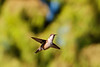 Hummingbird in flight and in focus too