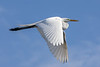 Great egret<br /> Ardea alba