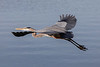 Great Blue Heron<br /> Ardea herodias