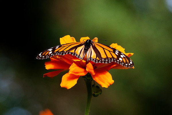 Monarch on the Orange Throne