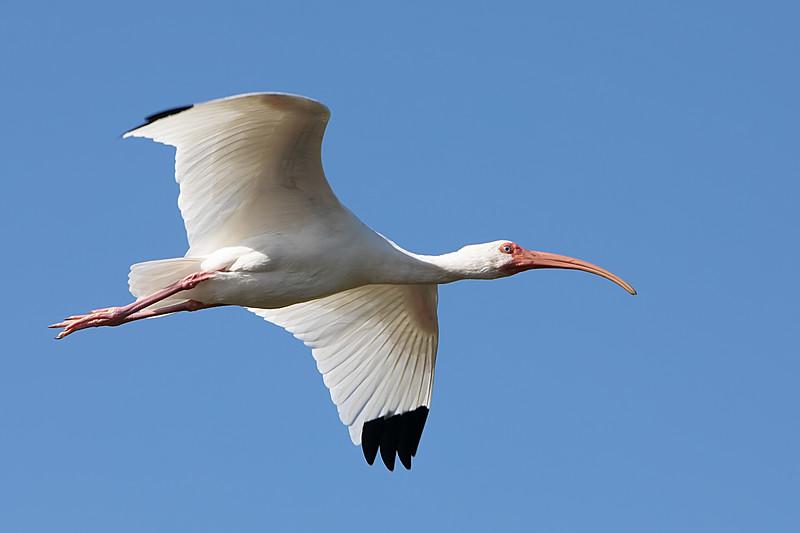 White Ibis<br /> Eudocimus albus