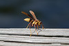 Yellow and brown paper wasp<br /> Polistes carolina