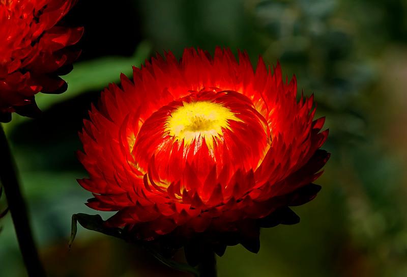 Strawflower brilliance