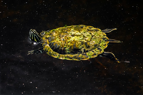 Intergalactic Turtle