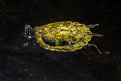 Intergalactic Turtle