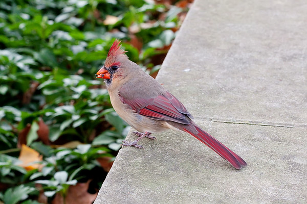 female cardinal. Have you visited the bird gallery in the nature folder?