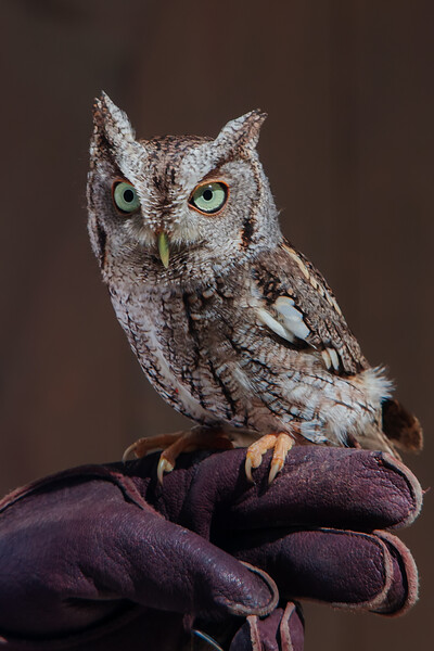 Rescued Screech Owl