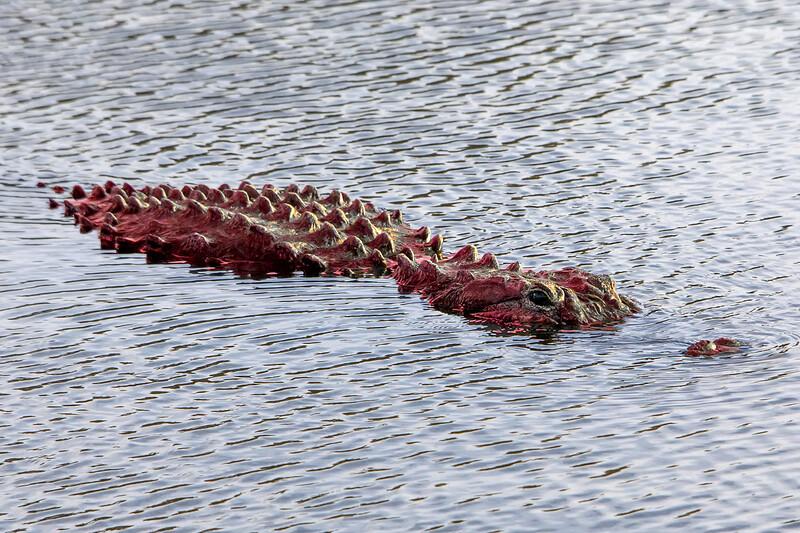 Florida Dragon