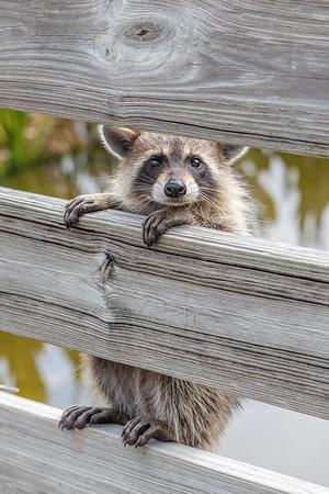 Curious orphan