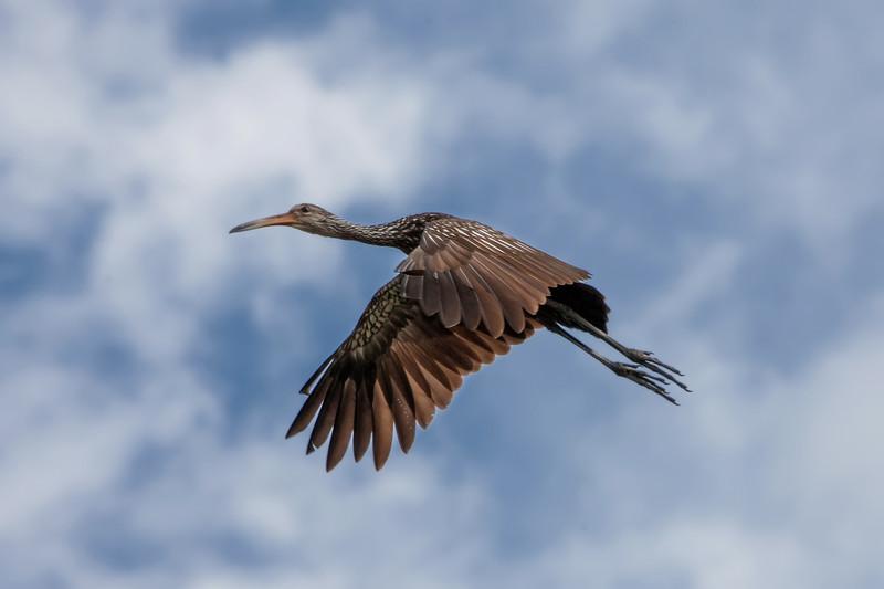 Limpkin aloft
