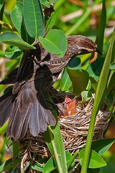 baby red wing blackbirds