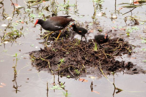 Mother and baby moorhens
