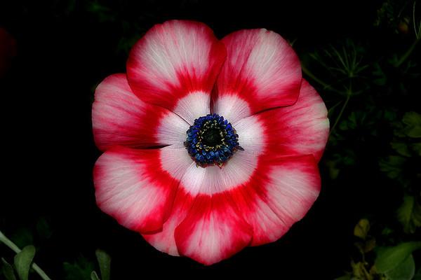 Patriotic Poppy
