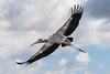 Wood Stork<br /> Mycteria americana