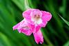 Wildcat Gladiolus