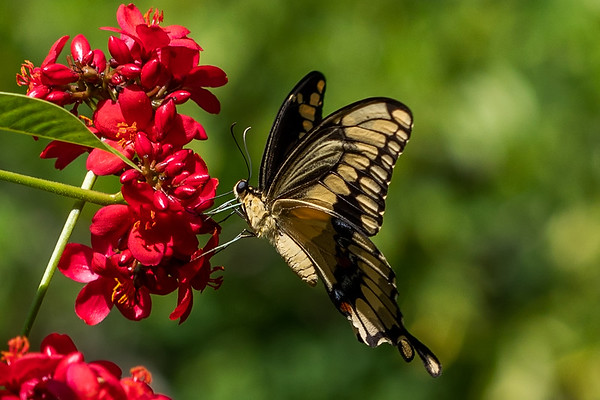 Giant eastern tiger swallowtail butterfly Papilio glaucus