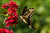 Giant eastern tiger swallowtail butterfly<br /> Papilio glaucus