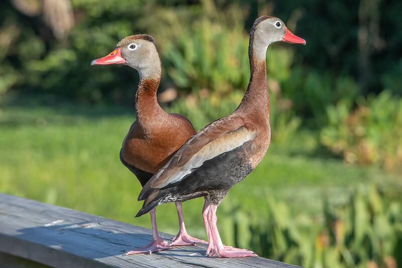 Guard Ducks