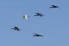 Egret among Ibises