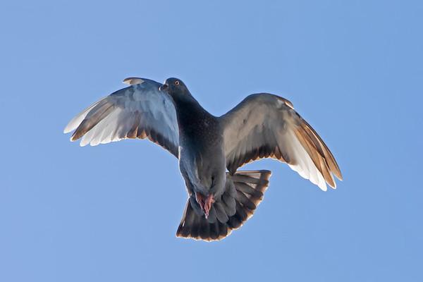 Prayerful Pigeon