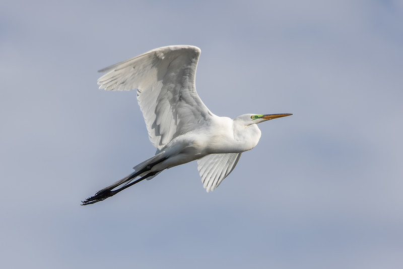Great egret<br /> Ardea alba