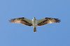 Osprey<br /> Pandion haliaetus