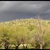 Saguaro Studded Hillside at Apache Lake