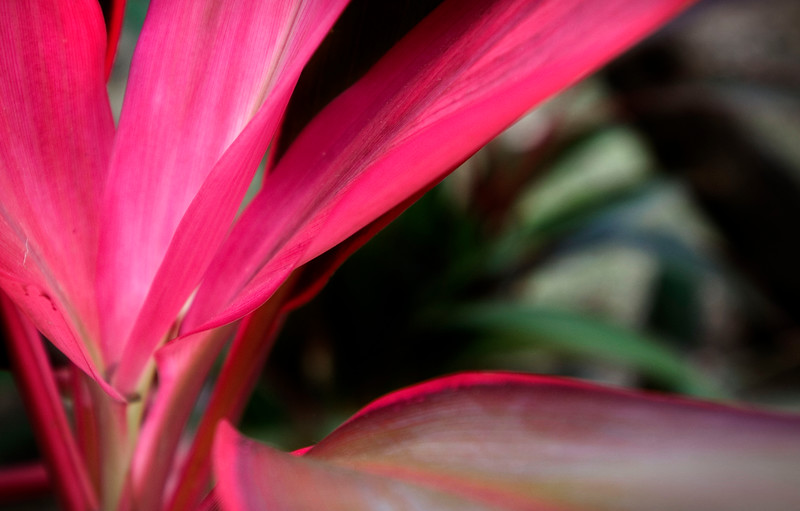 Red Velvet - Mexico  Cordyline fruticosa, a small soft-leaved palm-like plant, grows wild within the costal forests of the Riviera Maya.