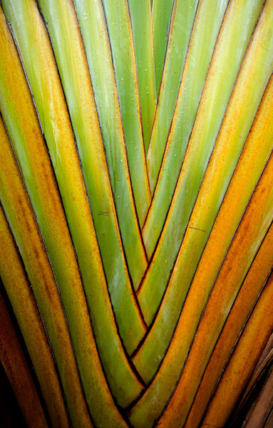 Jungle Color, Yucatan - Mexico<br /> <br /> Dewdrops skid down the coarse interwoven fronds of a Travelers Palm. Playa del Carmen, Mexico