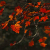 Red-Maple-Leaf-MI-Upper_Peninsula-CF_1016_1302
