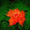 Red_Leaf_On_Fersn-Oct112016_Lake_Superior_Fall_Color_0063