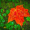 Lucky_Red_Leaf-Oct112016_Lake_Superior_Fall_Color_0069