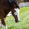 Clydesdale Feeding on Grass